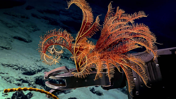 Impacts of deep-sea nodule mining